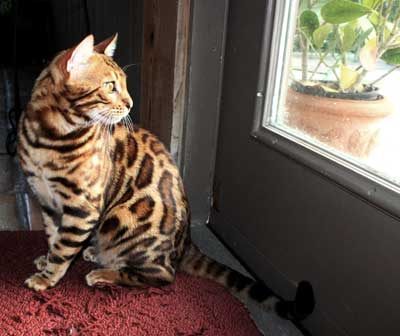Picture of Bengal Cat - Leopardkind Bengals