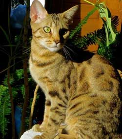 Picture of Bengal Cat - Jasoanie