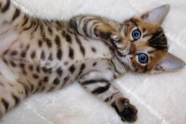 Picture of Bengal Cat - Karma Bengals
