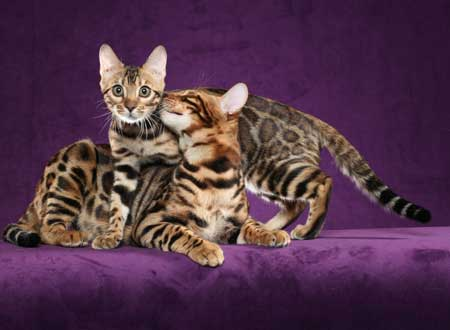 Picture of Bengal Cat - RedRockBengals