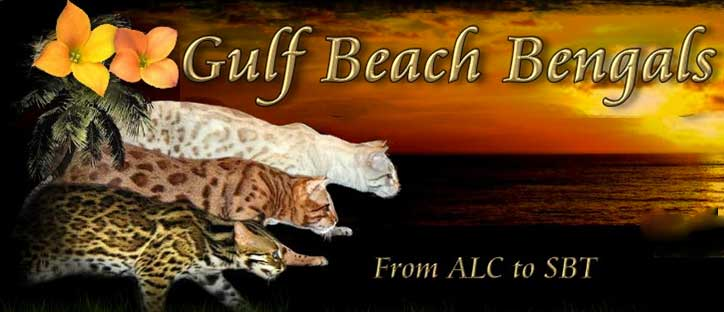 Picture of Bengal Cat - Gulfbeach Bengals