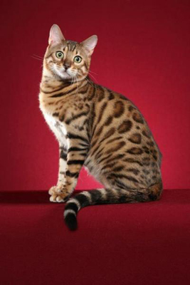 Picture of Bengal Cat - Kataklysm Bengals