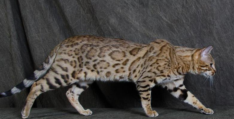 Breeder Directory - Bengal Breed