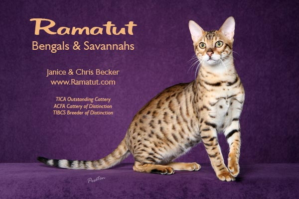 Picture of Bengal Cat - Ramatut Bengal Cats
