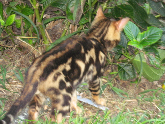 Picture of Bengal Cat - Couture Cats