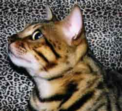 Picture of Bengal Cat - Sadies Bengal Cats