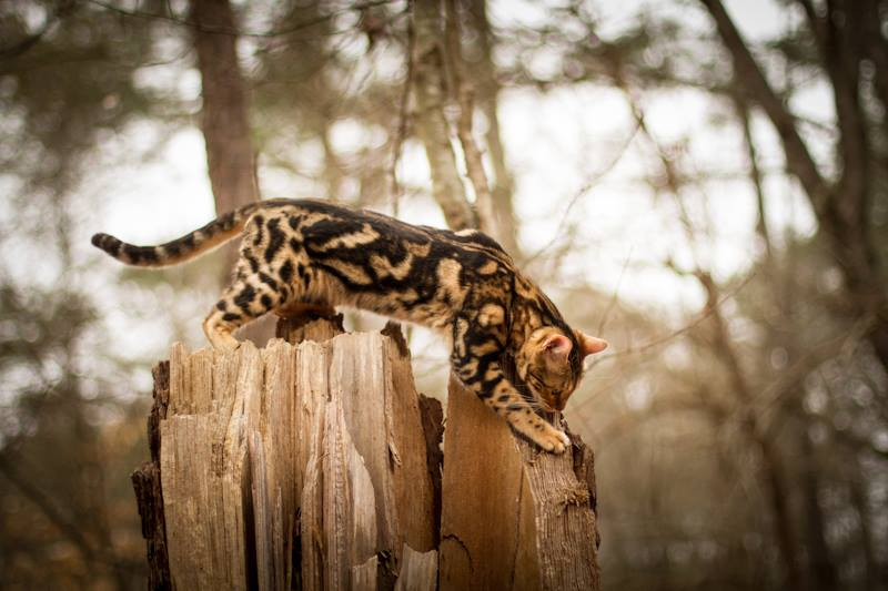 Picture of Bengal Cat - Bahiya Bengals