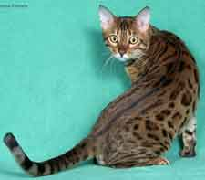 Picture of Bengal Cat - Marmoll Bengals