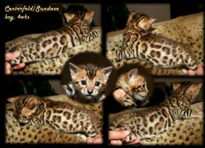 Picture of Bengal Cat - Adorable Clarkstone Bengals