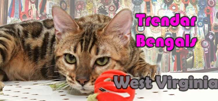 8fcfe50b03 Bengal cats are the most popular breed with The International Cat  Association. The Bengal Cat Breed site features trusted breeder from all  over the world.